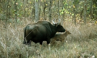 ZI_033_kanha_gaur+calf01_HM
