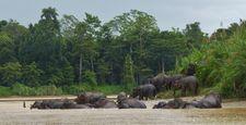 MY_Kinabatangan_Elefanten für Highlight_WAA_FOC