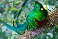 Quetzal Vogel