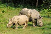 Rhino, Nashorn, Chitwan Nationalpark, Nepal
