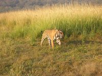 IN_Bhandavgarh_ Safari Tiger 11_GJ_FOC